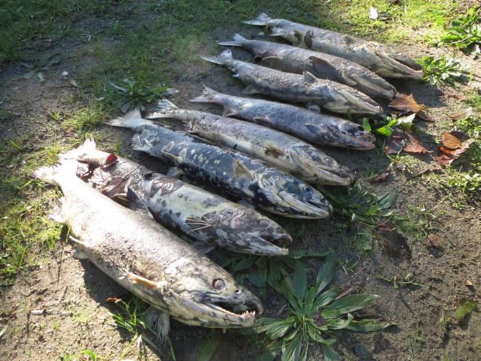 Byrne Creek Salmon