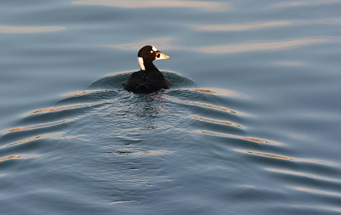 Surf scoter White Rock BC