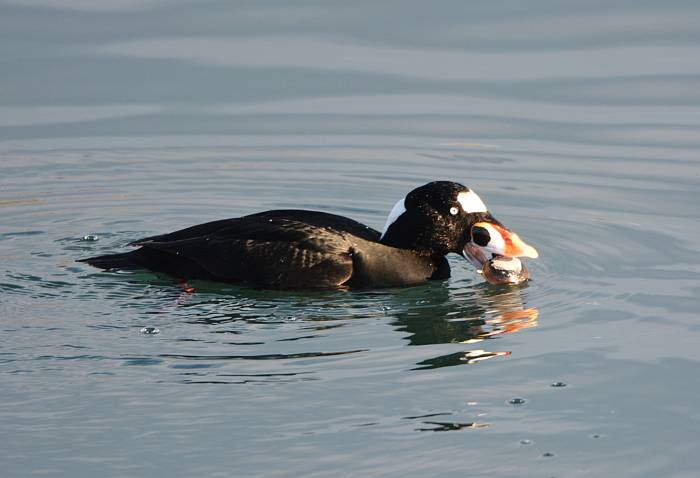 Surf scoter shellfish White Rock BC