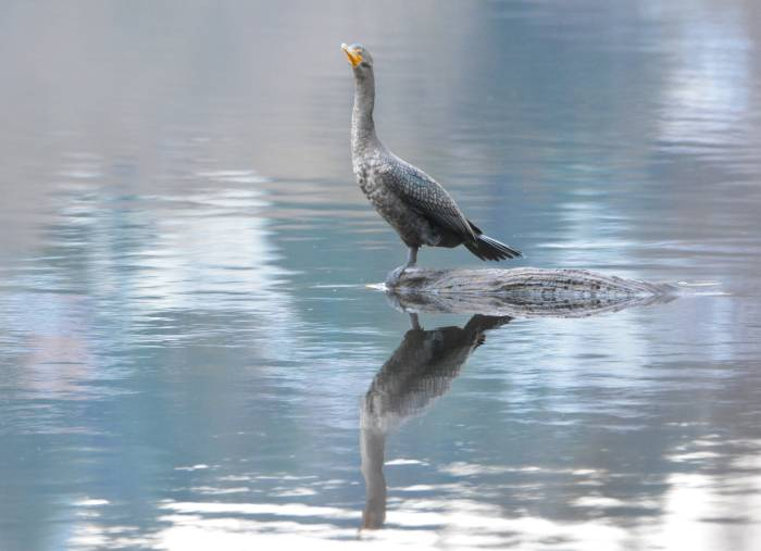 cormorant deer lake
