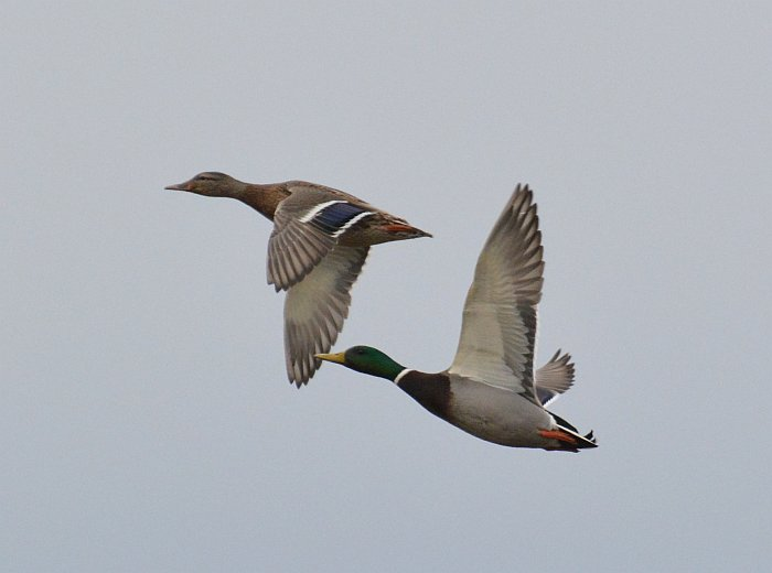 mallards flight