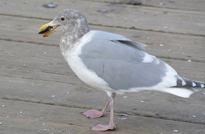 gull shellfish