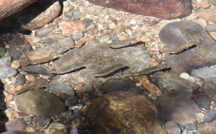 chum fry byrne creek burnaby