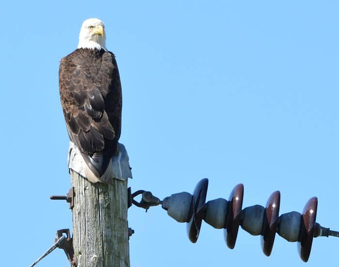 bald eagle boundary bay