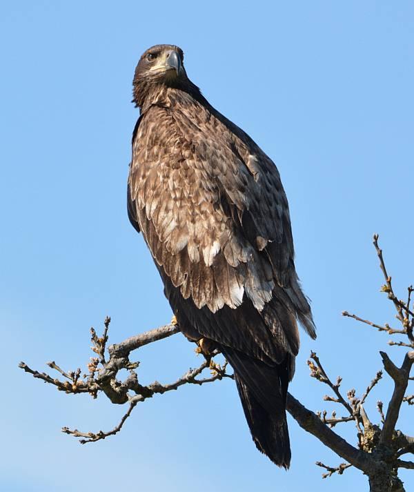 golden eagle boundary bay