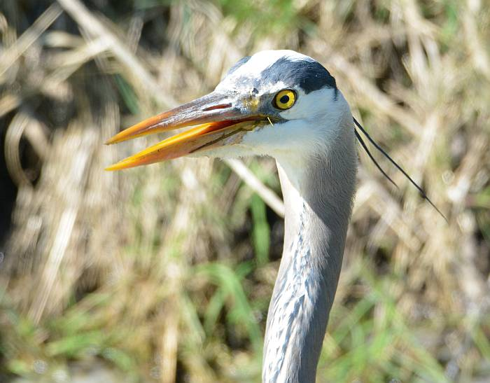 great blue heron boundary bay