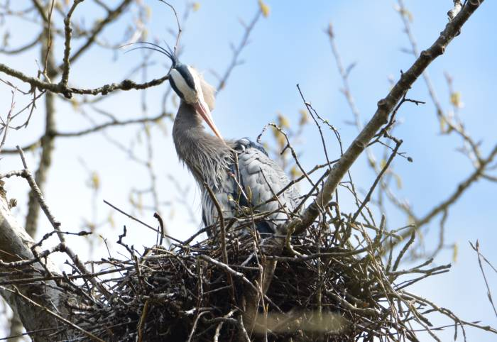 great blue heron making nest