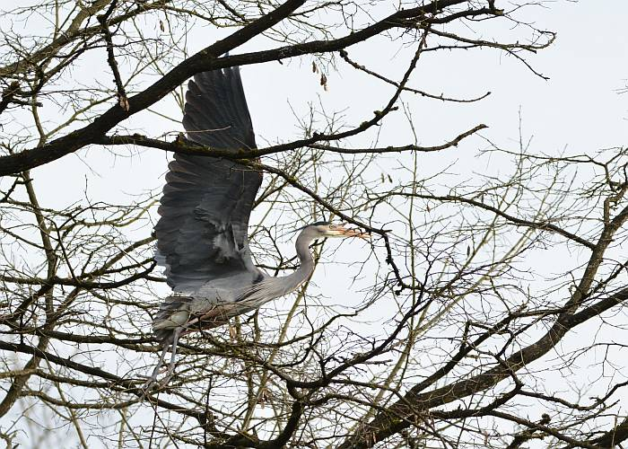 great blue heron carrying nest material