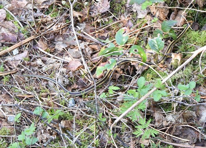 Minnekhada Regional Park garter snake
