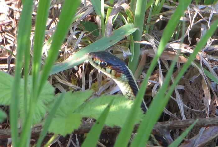 garter snake burnaby