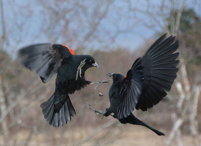 Red-Winged Blackbird Duel