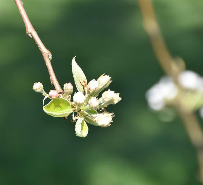 shadbolt blossoms