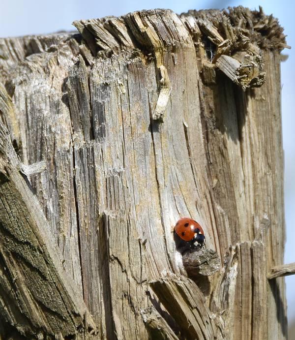 Stewart Heritage Farm ladybug