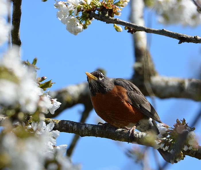 Stewart Heritage Farm robin