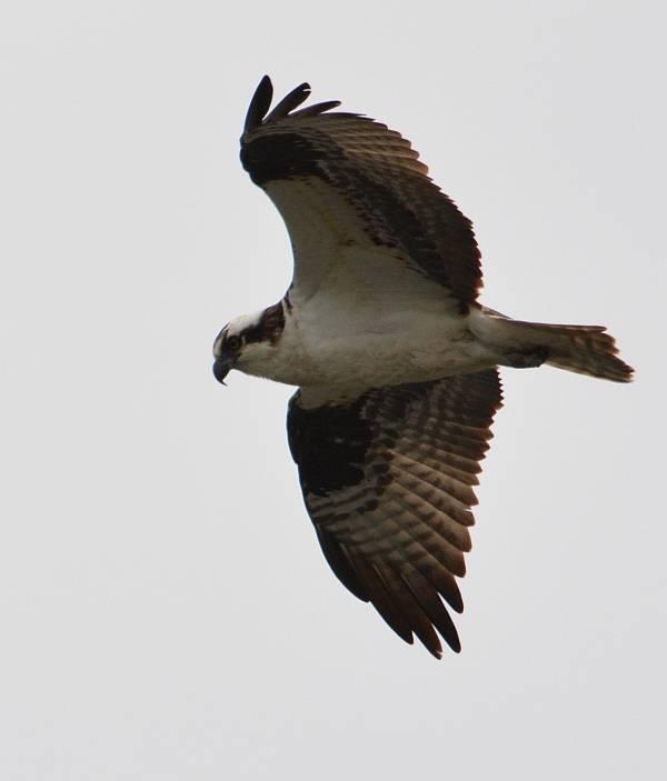 osprey iona beach