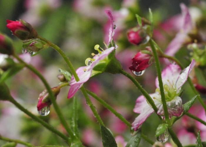 rain drops on blossom