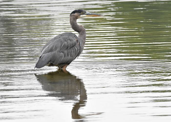 cipywnyk_deer_lake_burnaby_heron_4_20160905