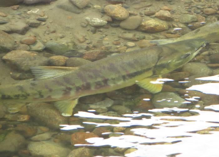 chum spawners byrne creek burnaby bc