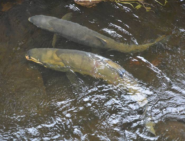chum salmon stoney creek
