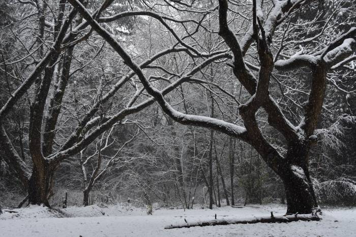 cipywnyk_burnaby_snow_byrne_creek_old_farm_trees_20161204