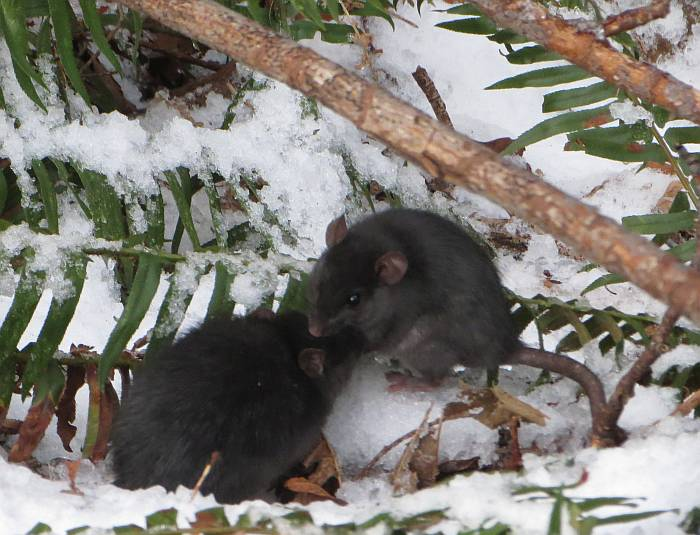cipywnyk_byrne_creek_rodents_snow_20161217