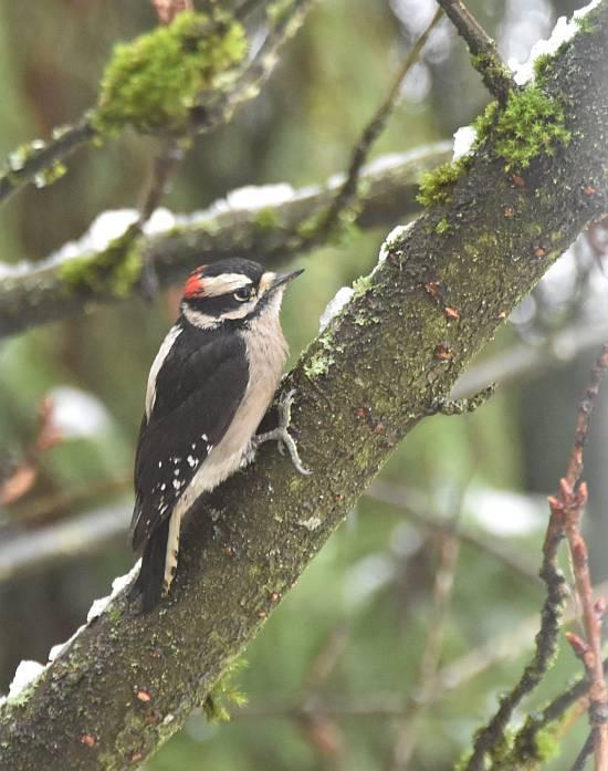 downy woodpecker burnaby