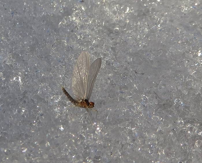 Mayfly snow Byrne Creek