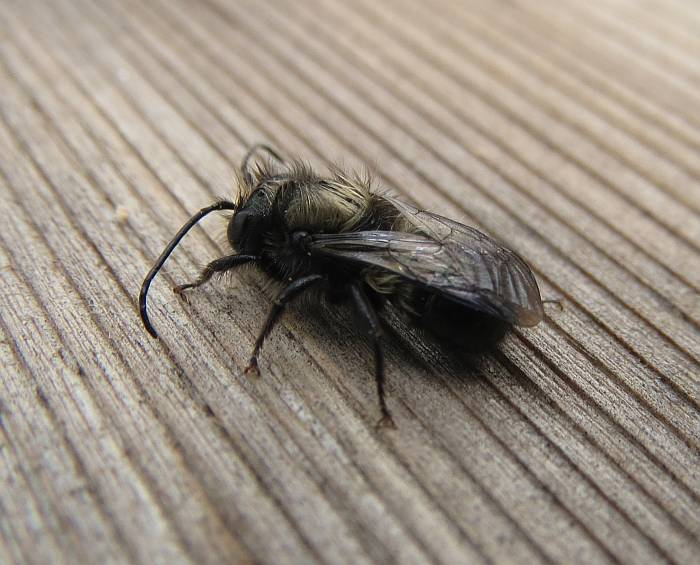 mason bee action south Burnaby BC