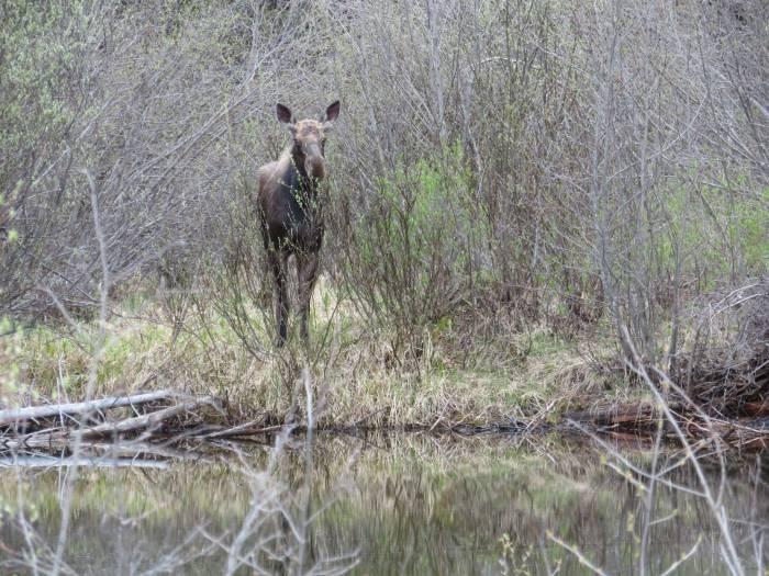 deer moose barkerville bc