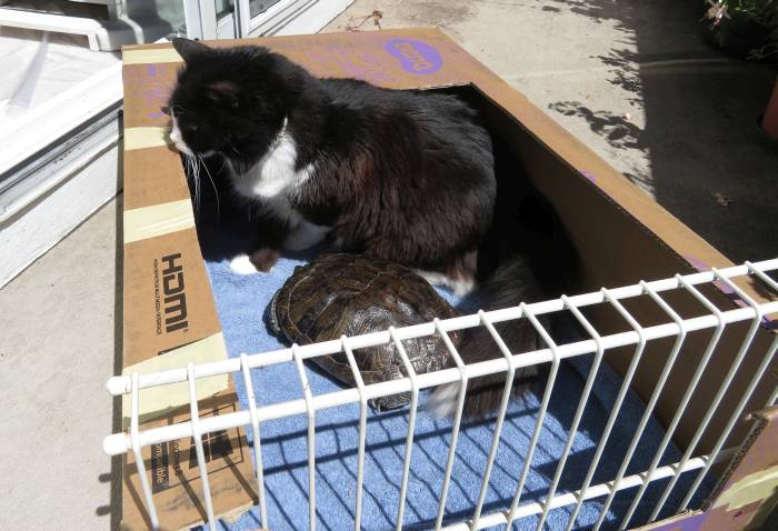 Turtle sunning box attracts cat