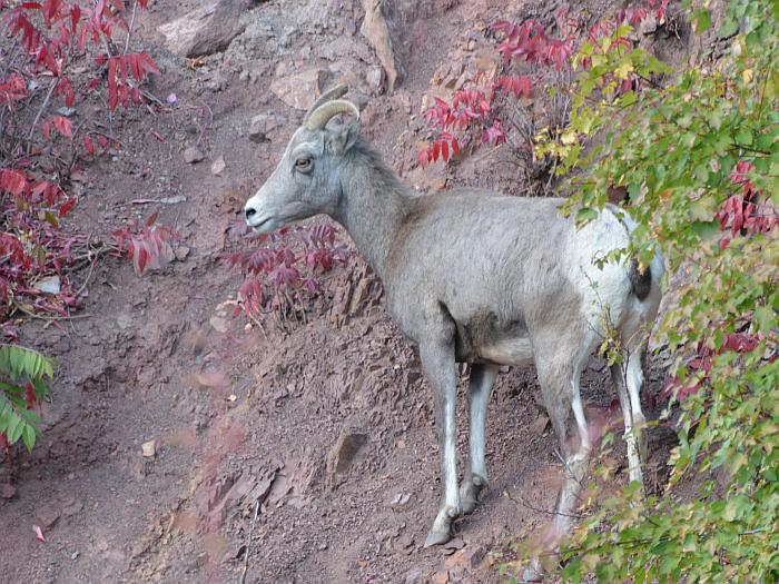 Deer Mountain Goats