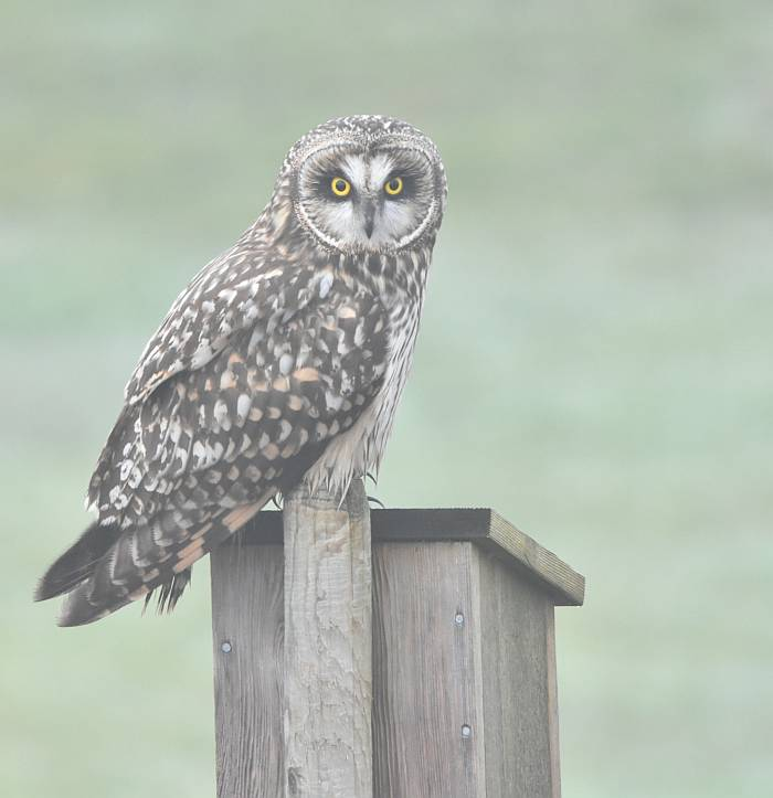 short-eared owl boundary bay