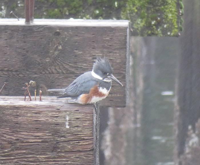barnet marine park birding