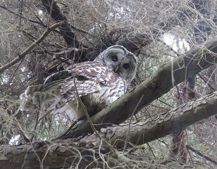 barred owl burnaby lake