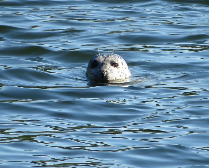 belcarra seal