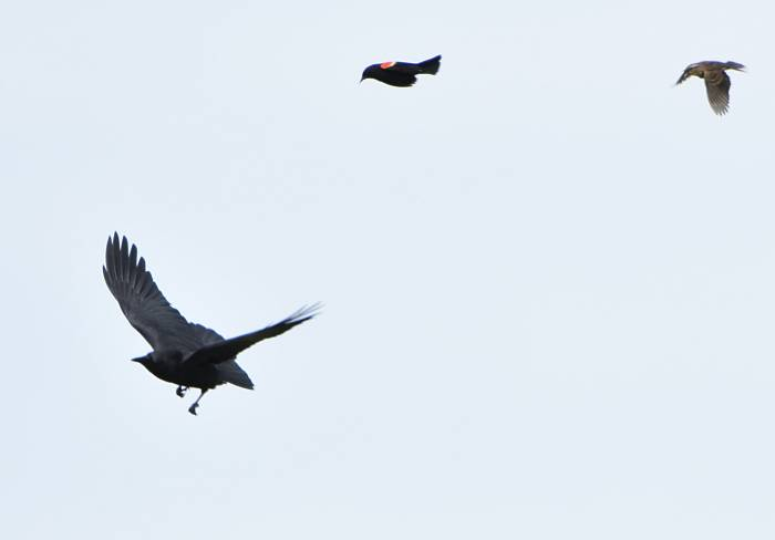 blackbirds chasing crow
