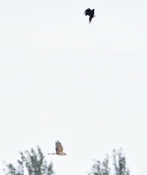 crow dive bombs northern harrier