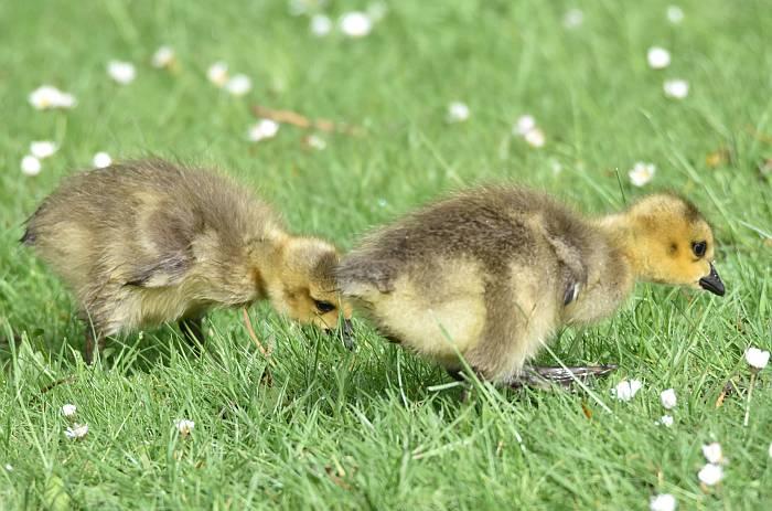 canada geese goslings deer lake burnaby