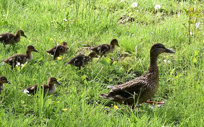 mallard mom ducklings deer lake burnaby