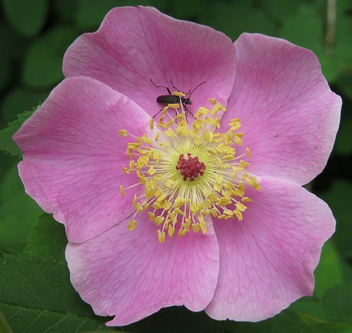 blossom bug
