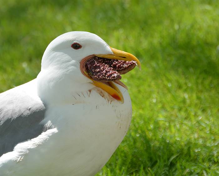 Gull swallowing sea star