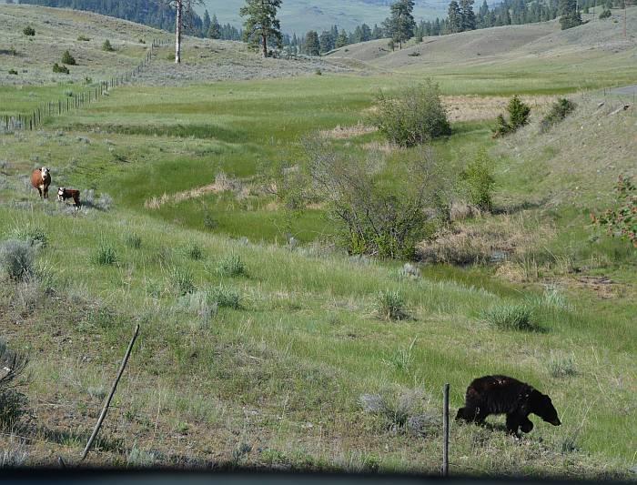 cow calf black bear