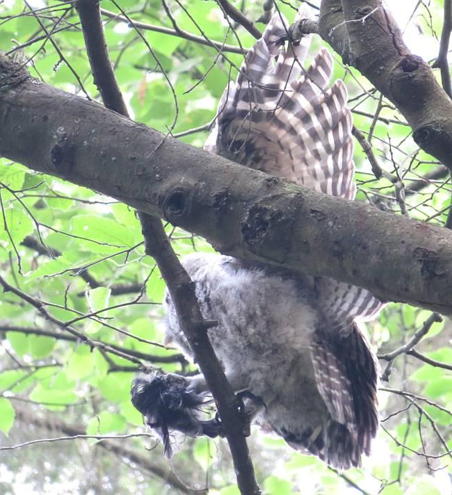barred owls burnaby