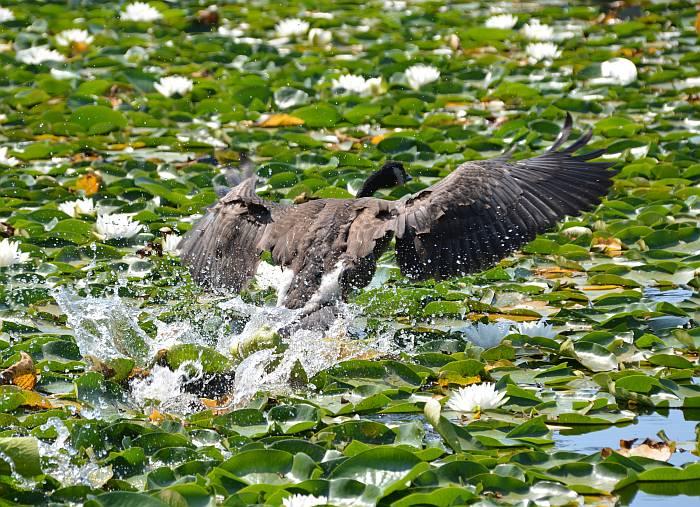 canada goose landing hard