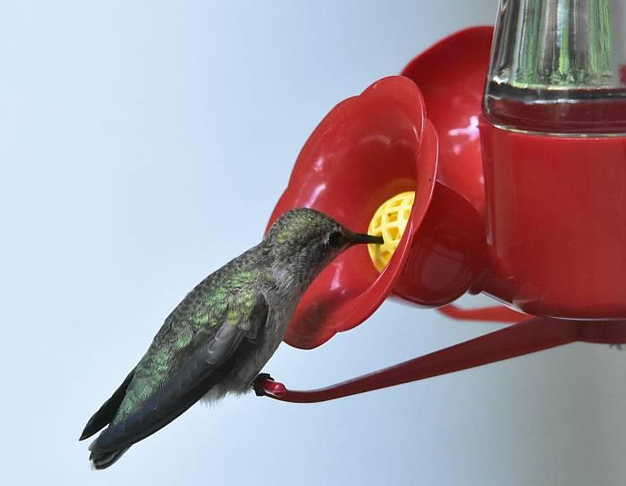 hummingbird south burnaby