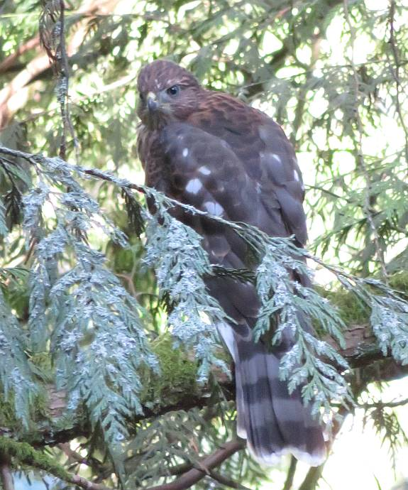hawk burnaby