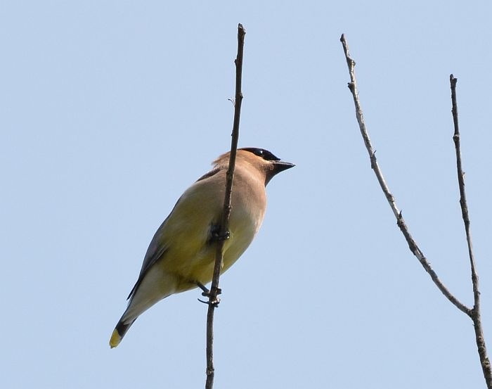 waxwing deer lake