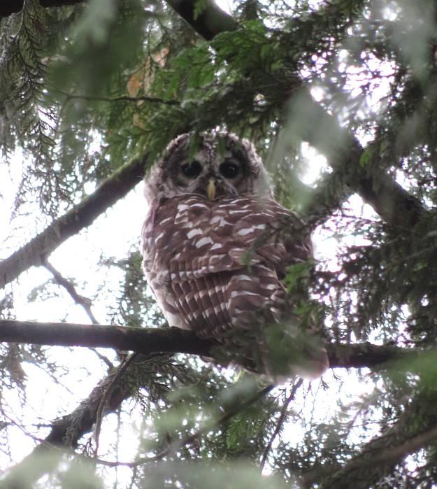 barred owl byrne creek burnaby