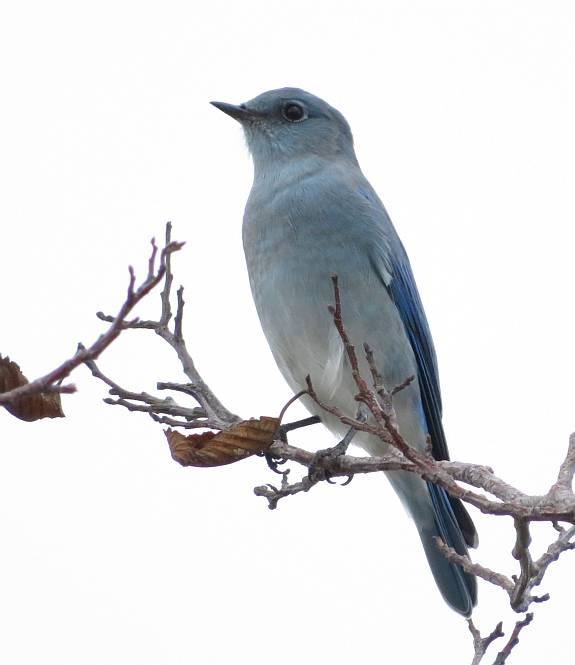 bluebird centennial beach delta bc