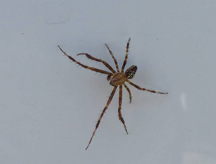 hitchhiking spider